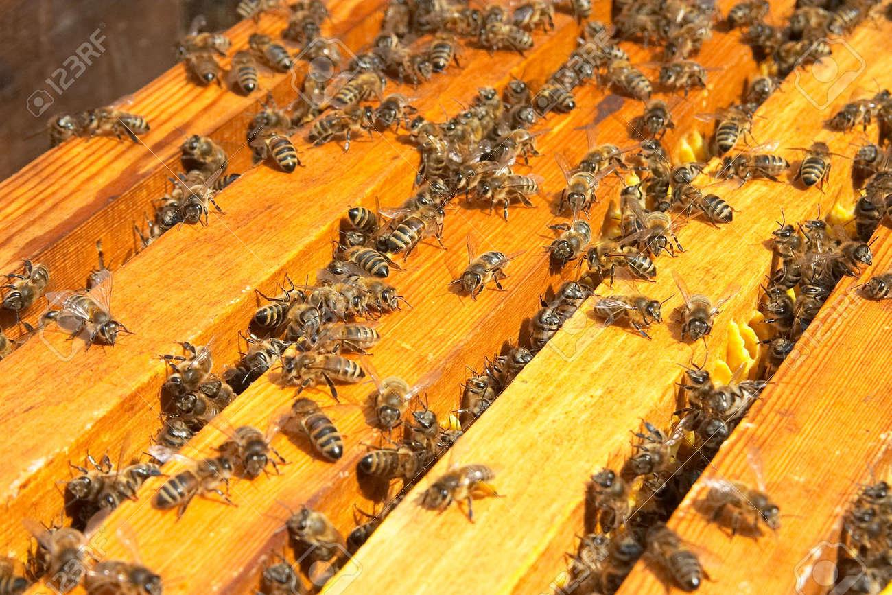 bees Stock Photo - 358133