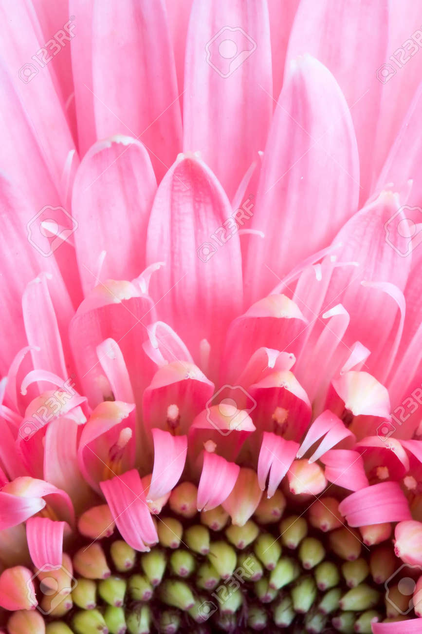 Close up of the pink daisy bloom Stock Photo - 678744