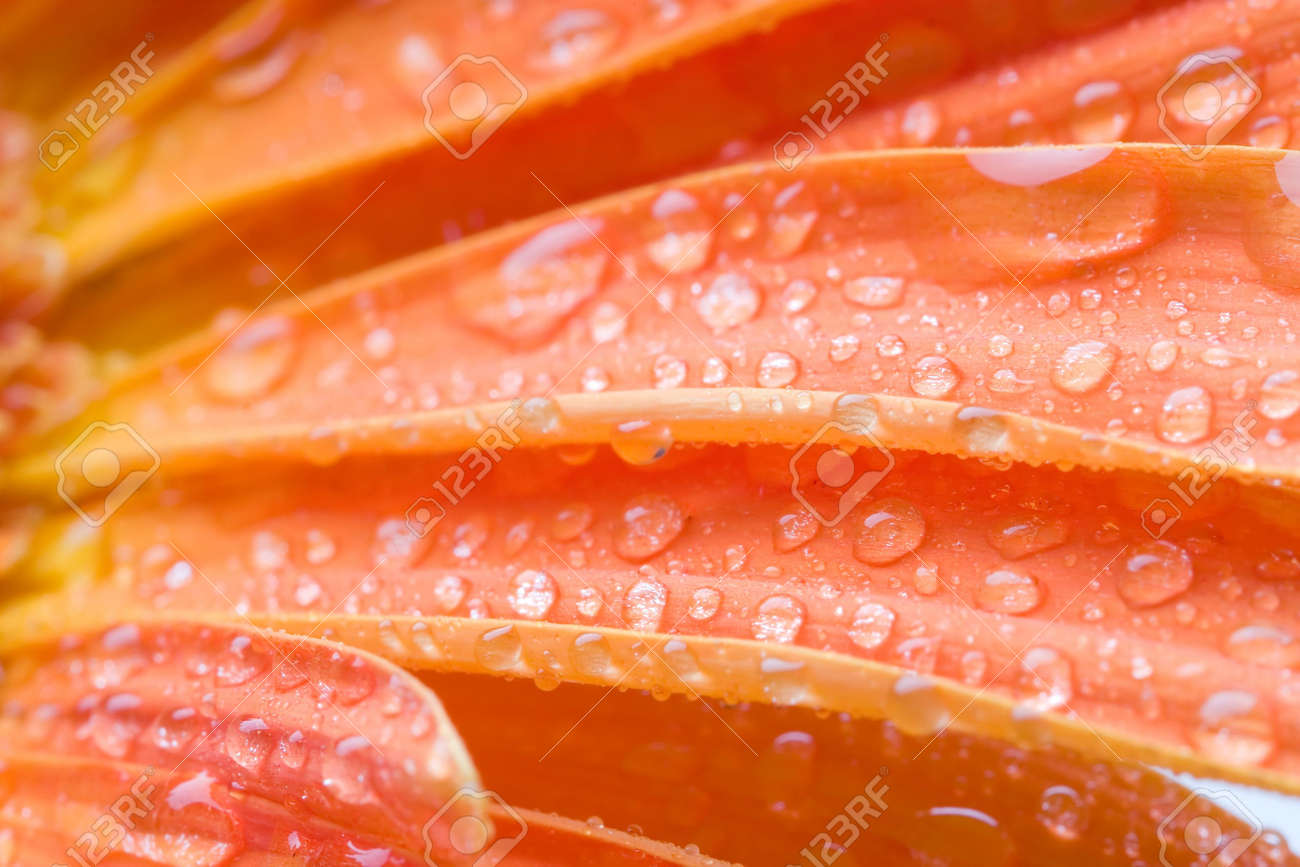 Closeup of orange daisy with water droplets Stock Photo - 745633