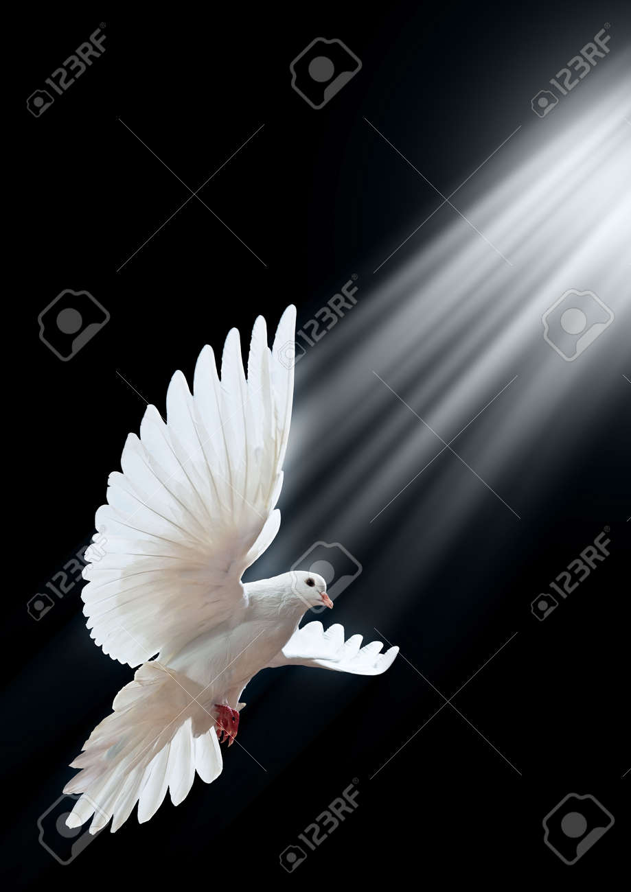 A free flying white dove isolated on a black background Stock Photo - 5888783