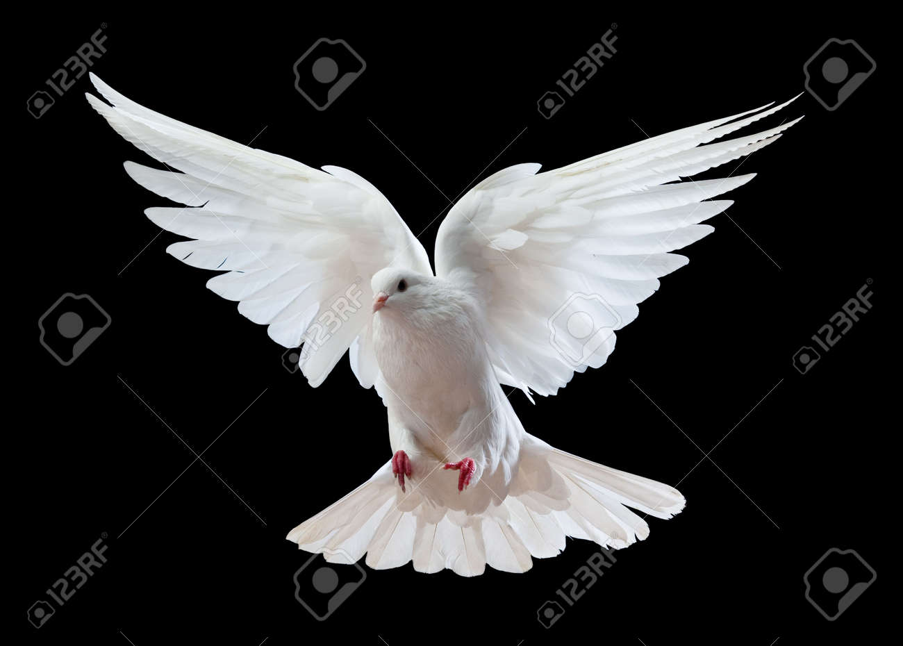 A free flying white dove isolated on a black background Stock Photo - 6518309