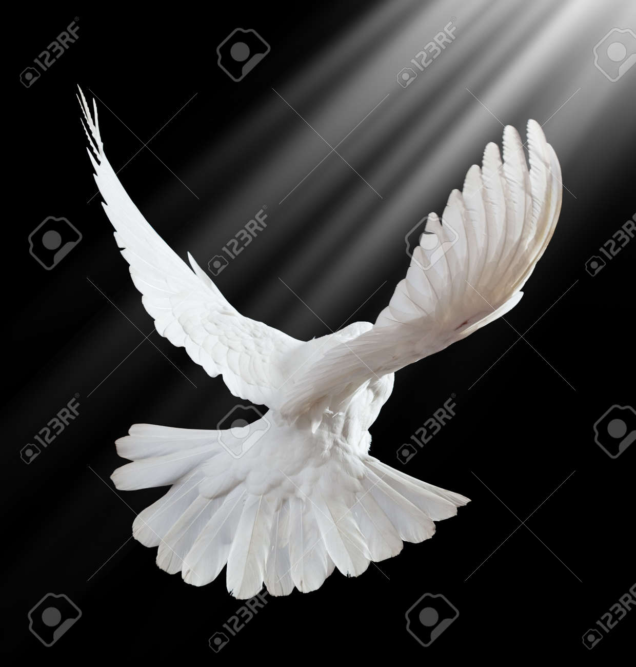 A free flying white dove isolated on a black background Stock Photo - 7478296