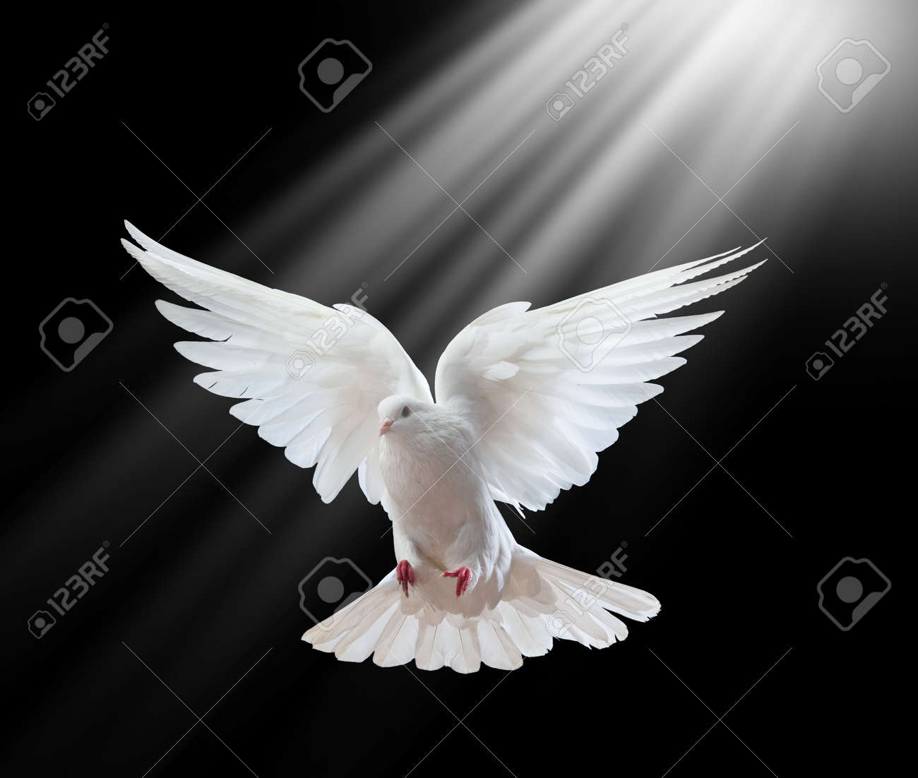 A free flying white dove isolated on a black background Stock Photo - 7501250