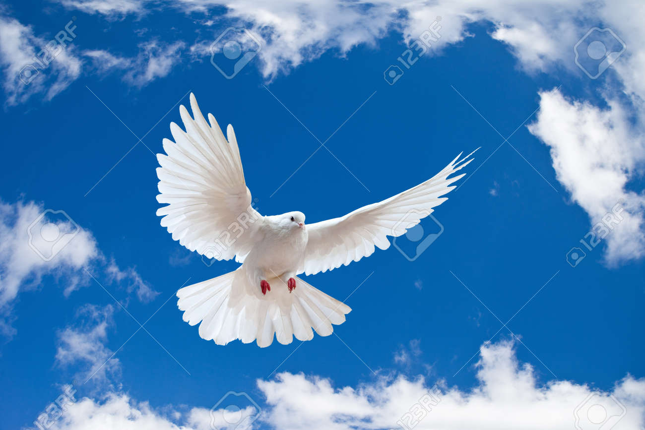 Peace Dove Stock Photos Royalty Free Peace Dove Images