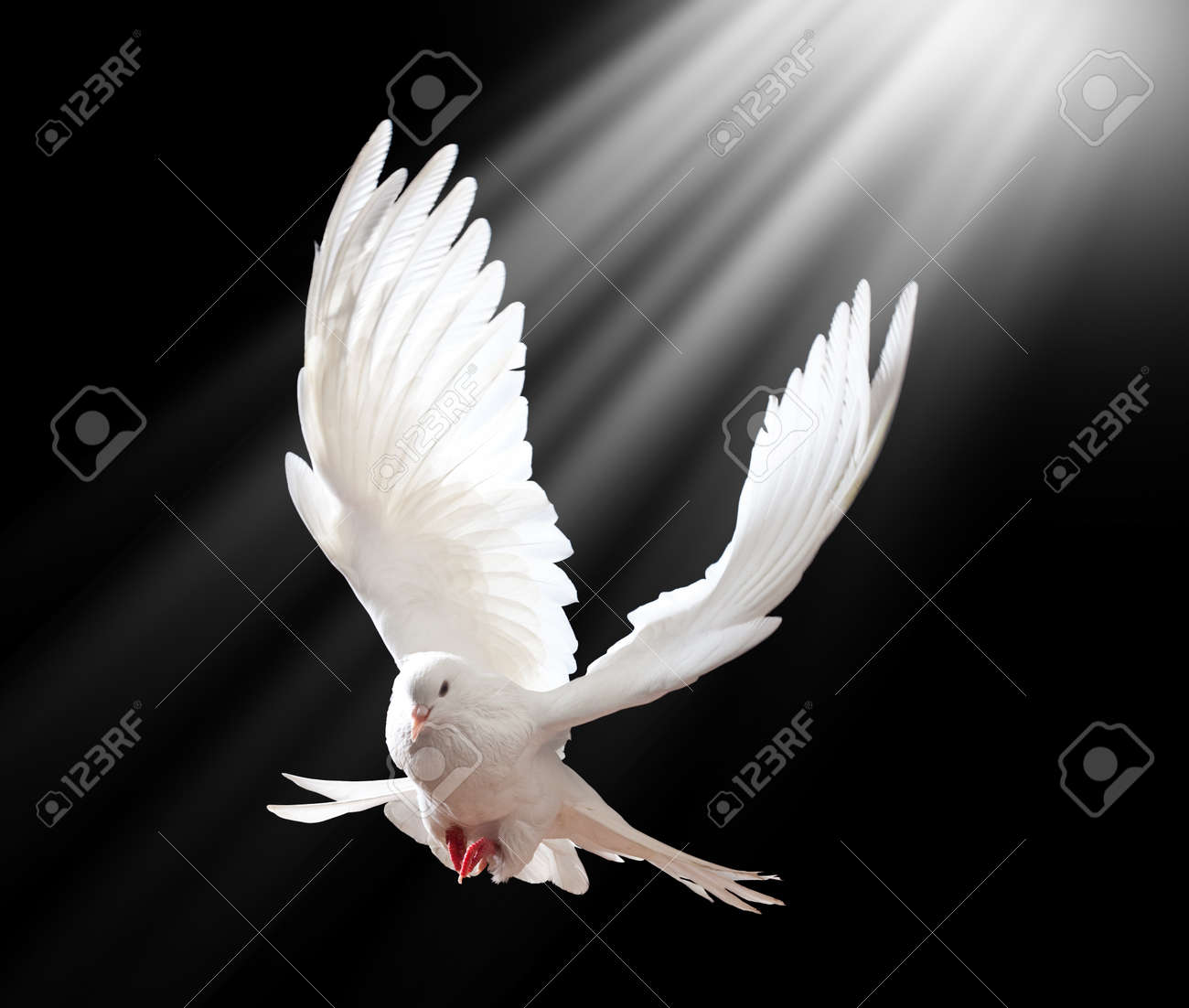 A free flying white dove isolated on a black background - 12568496