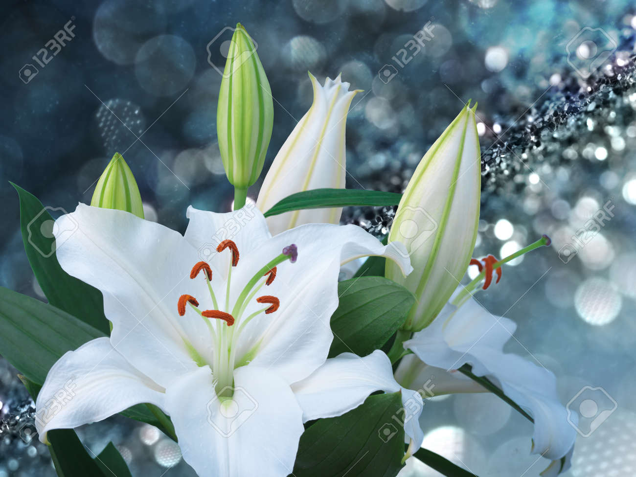 White Lily Flower On Blue Background With Bokeh Effects Stock Photo