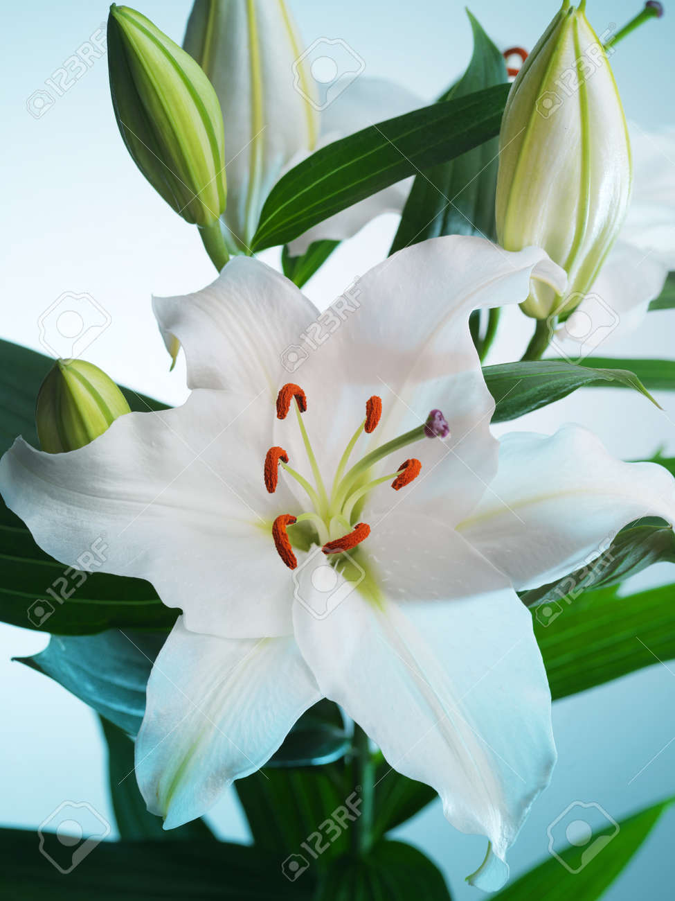 White lily flower on a blue background stock photo picture and stock photo white lily flower on a blue background izmirmasajfo