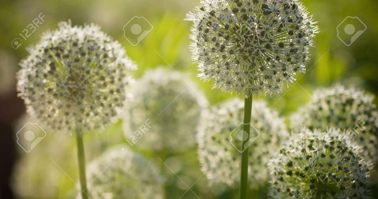 Beautiful White Allium Circular Globe Shaped Flowers Blow In The