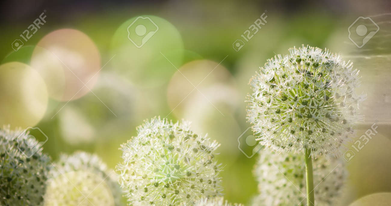 Beautiful White Allium Circular Globe Shaped Flowers Blow In Stock