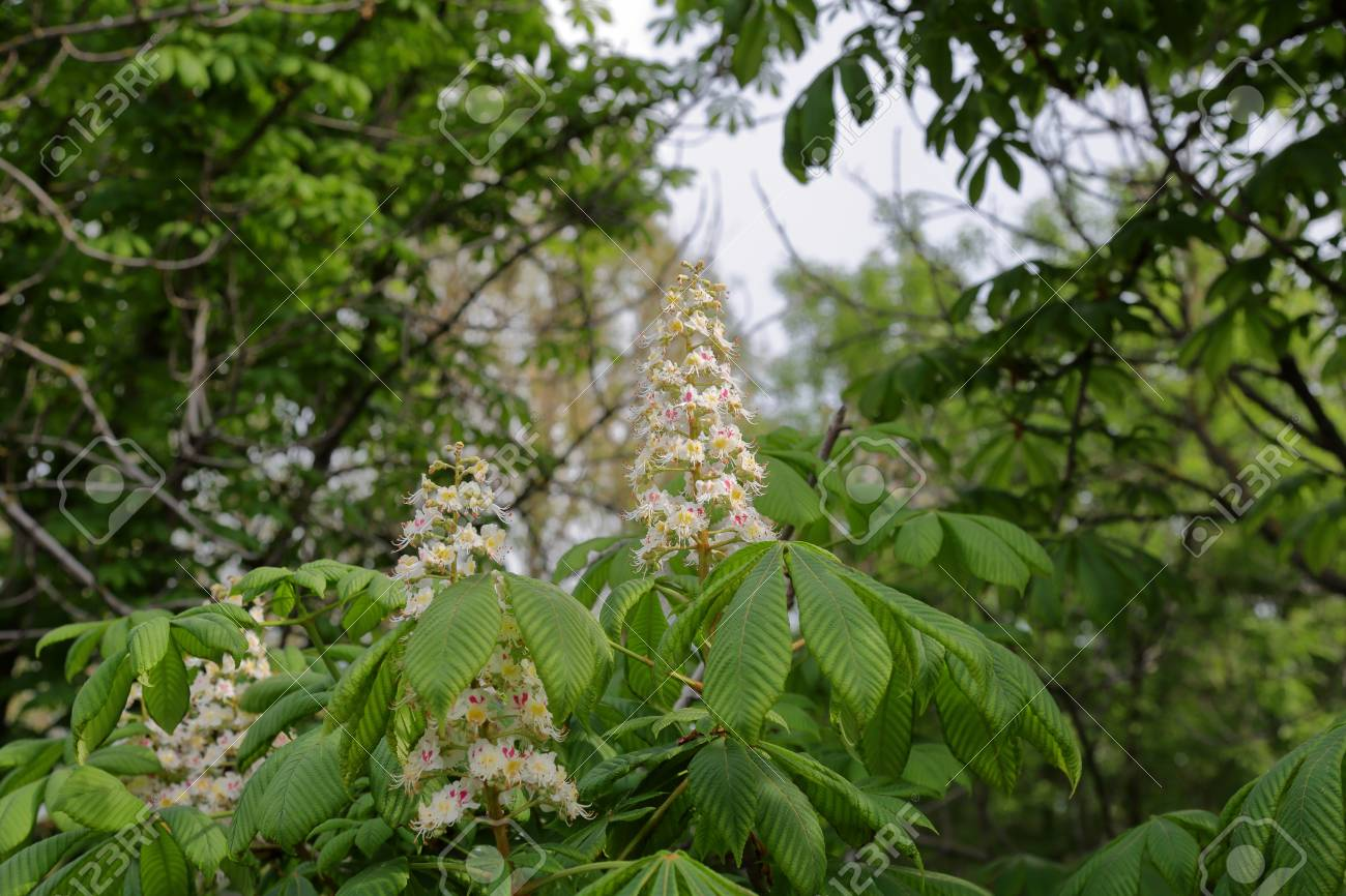 Bright white pink flowers of blossoming deciduous chestnut tree bright white pink flowers of blossoming deciduous chestnut tree stock photo 102675303 mightylinksfo