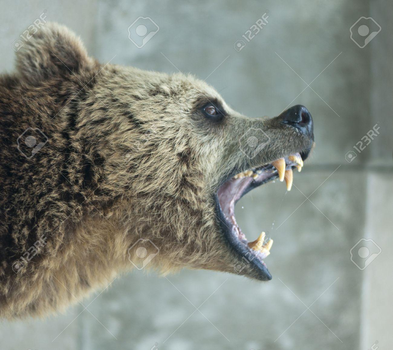 Angry Bear - 14760926