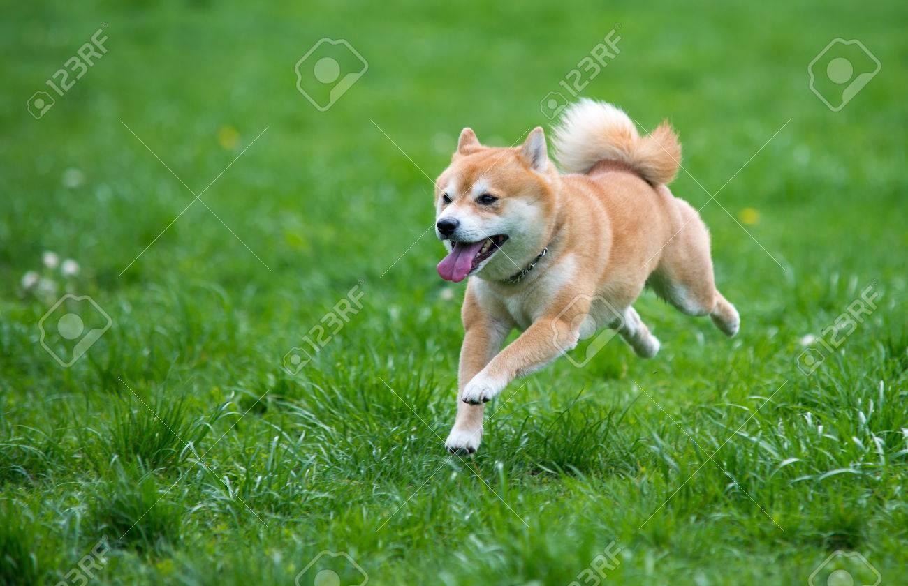 Jumped dog shiba inu on grass - 28106978
