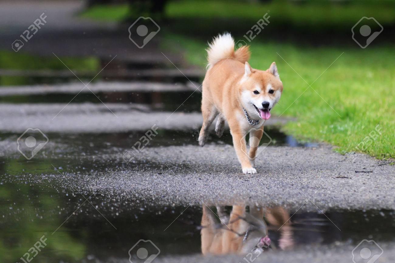 Jumped dog shiba inu - 34340360