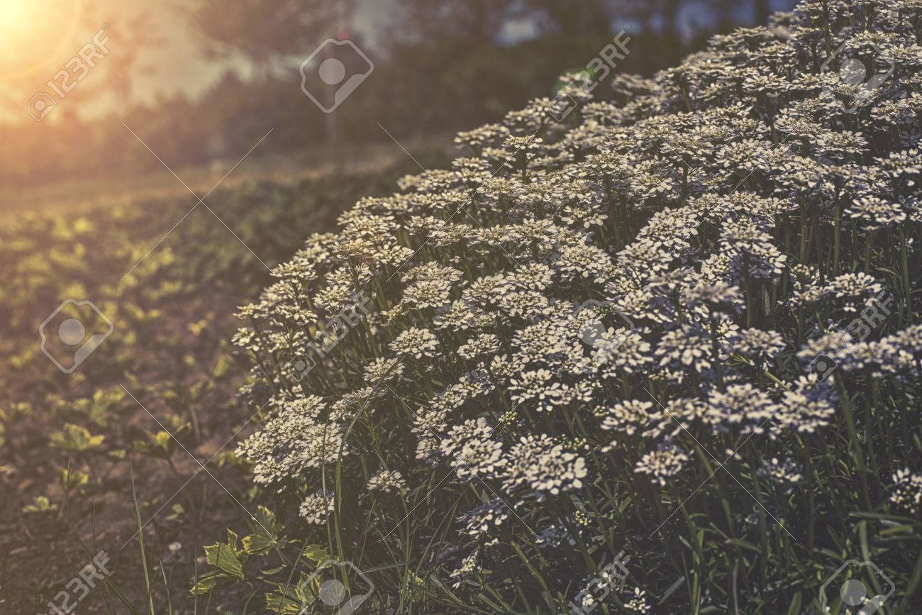 Iberis Sempervirens - White Flowers In Garden Stock Photo, Picture ...