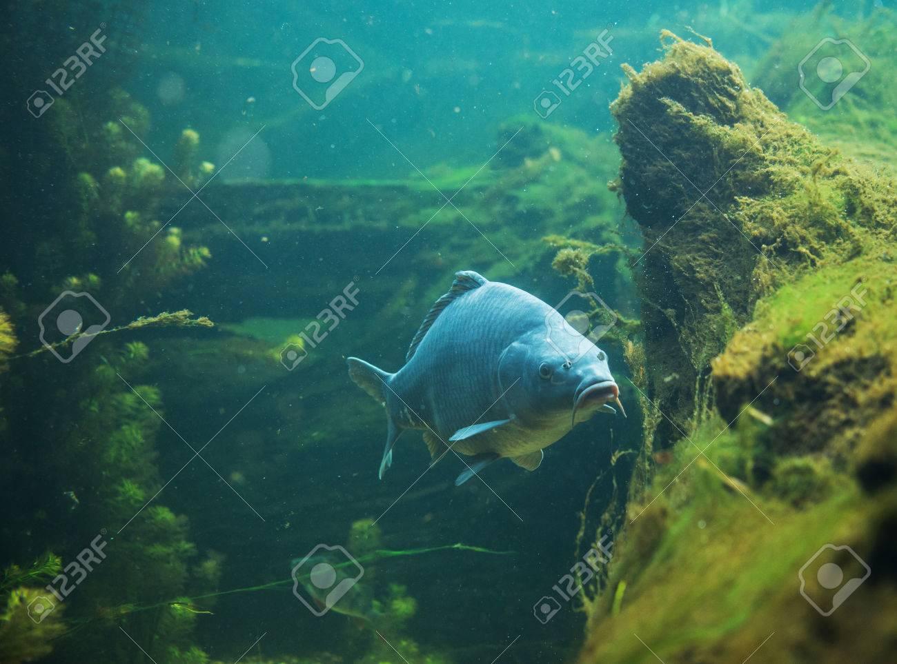 clsoe up on Cyprinus carpio in fresh water - 64560564