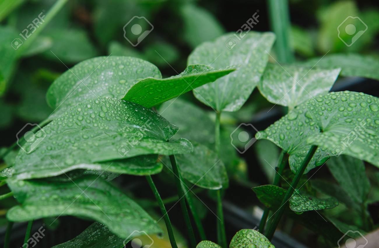 Alismataceae