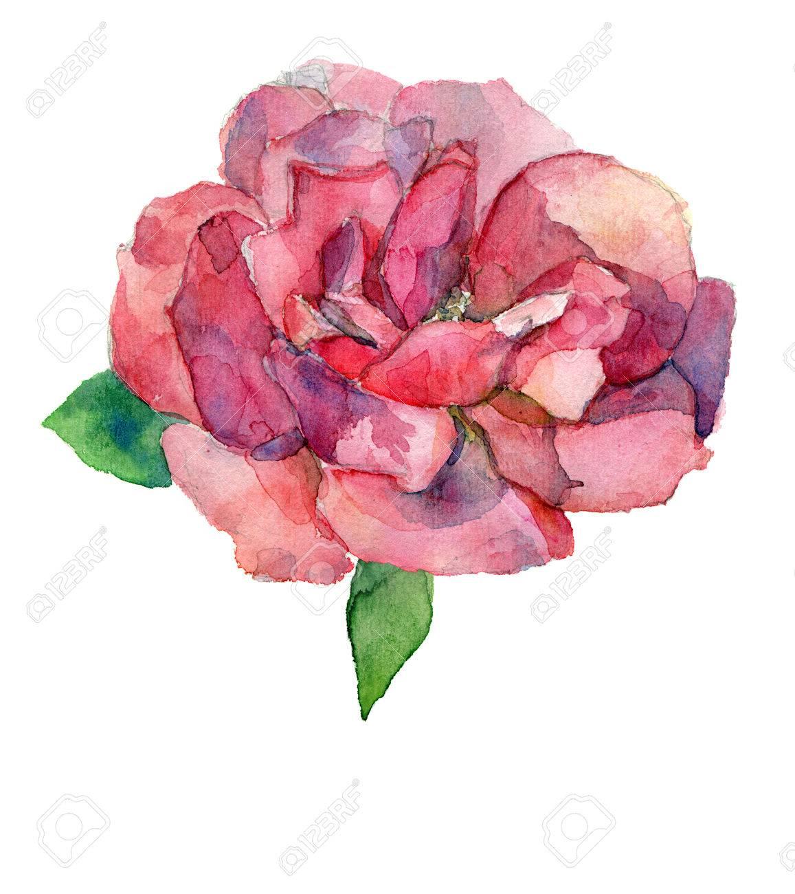 Rouge Ou Rose Fleur Rose Aquarelle Dessin Isole Jpg Raster Bitmap