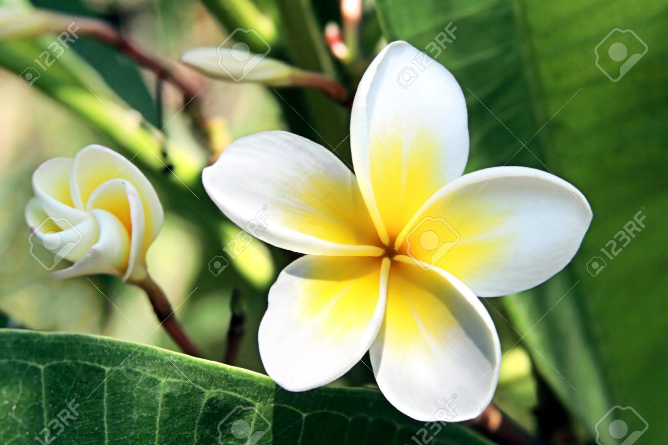 Exotic Tropical Flowering Tree With White Fragrant Flowers Stock