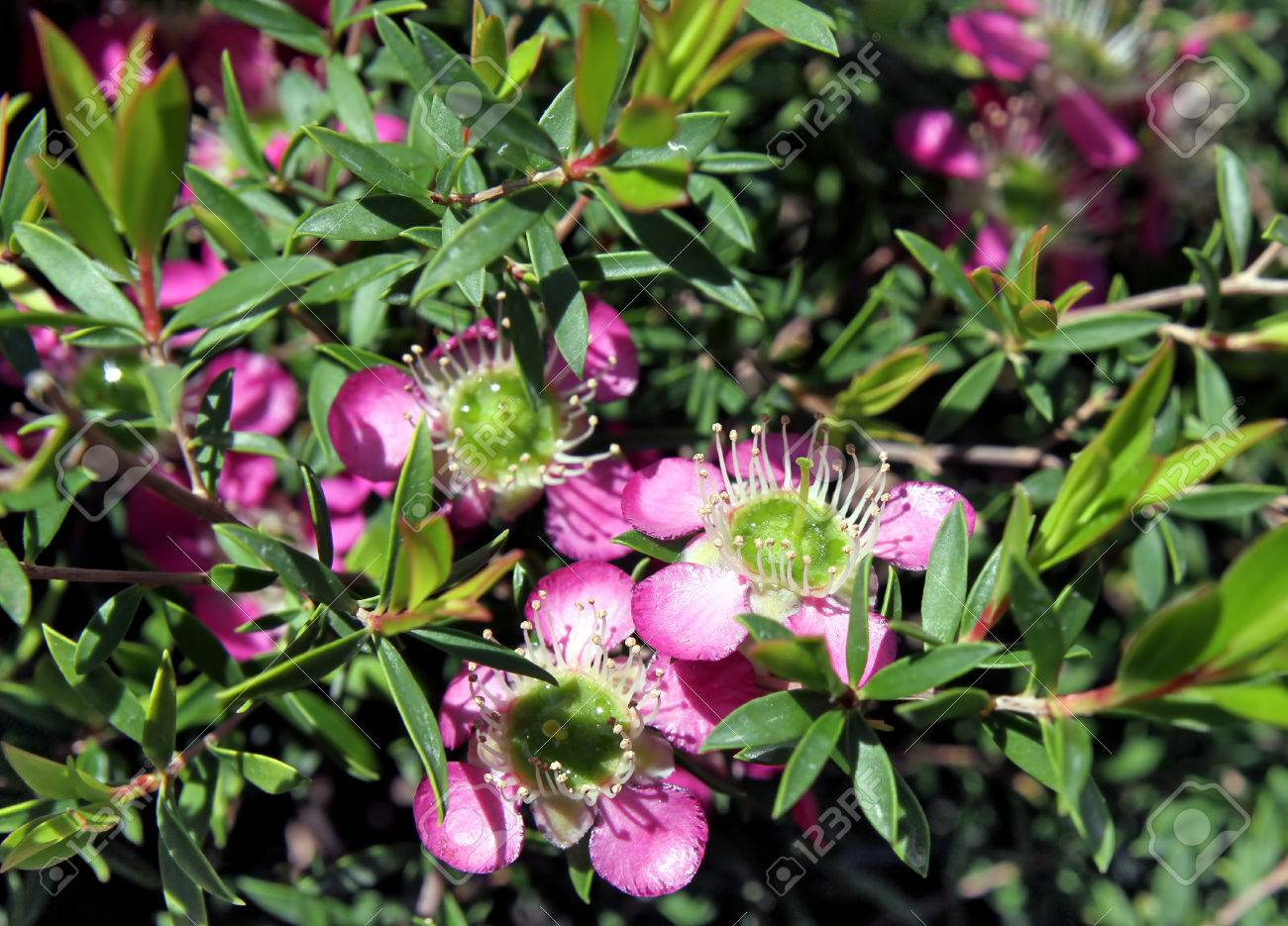 ornamental evergreen shrub leptospermum blooming pink flowers, Natural flower