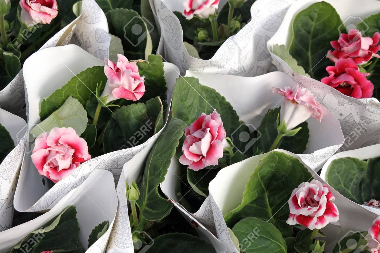 Bluhende Zimmerpflanze Rosa Gloxinia Lat Gloxinia Lizenzfreie