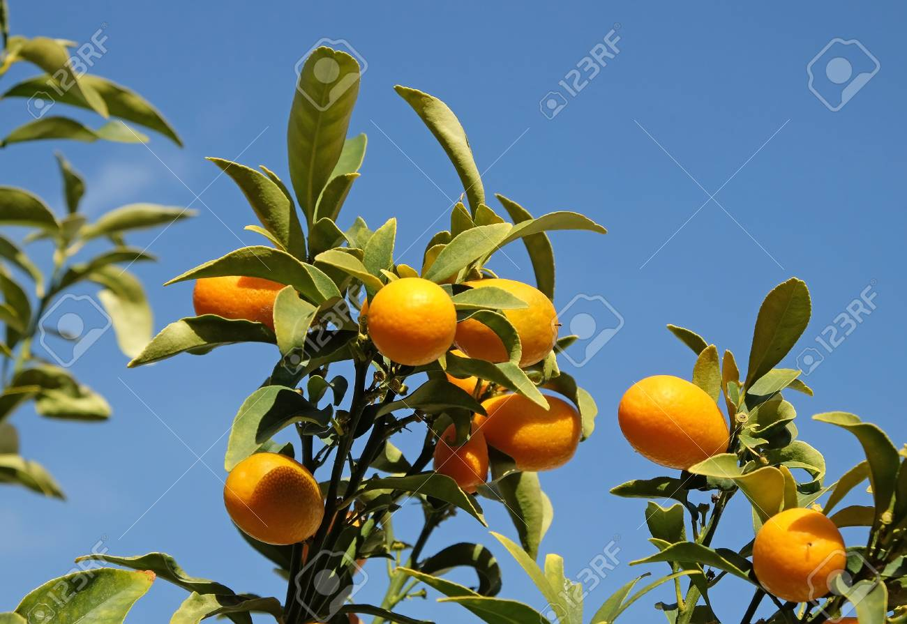 kumquat crop on tree branches on a background of blue sky stock