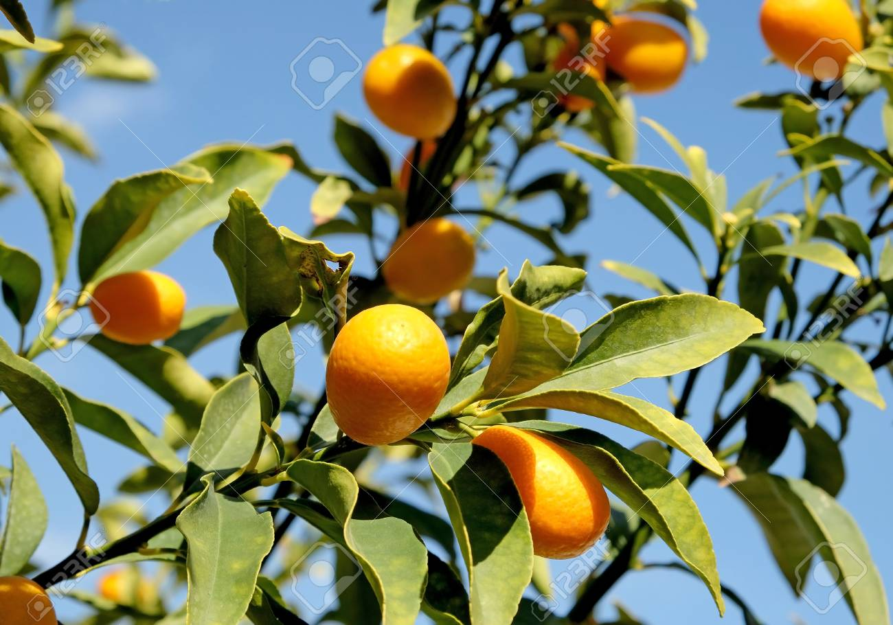 kumquat on tree branches on a background of blue sky stock photo