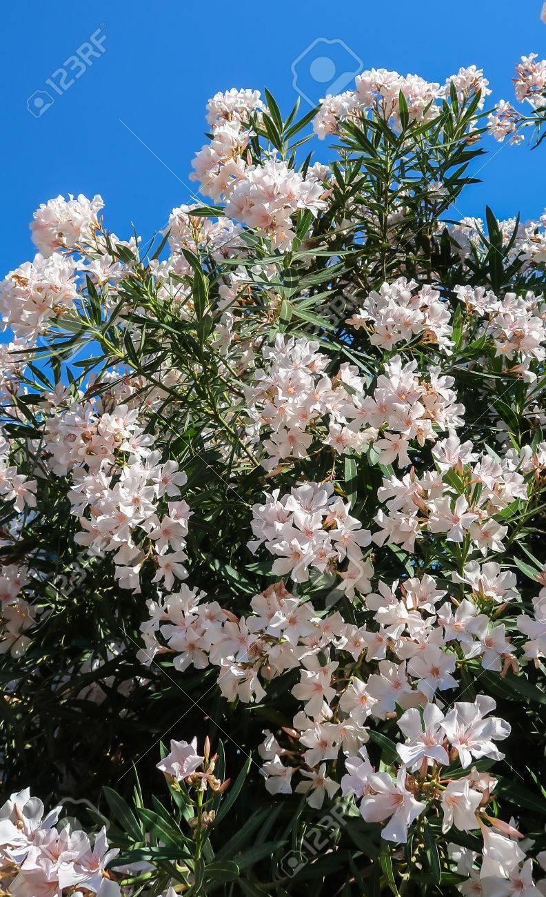 White Oleander Plant
