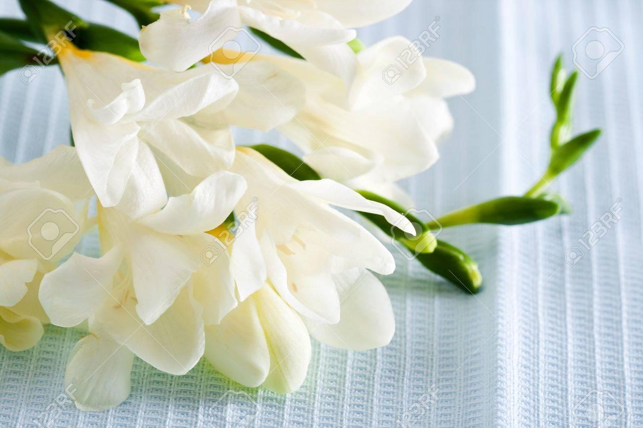 White freesia flower on blue background closeup stock photo stock photo white freesia flower on blue background closeup mightylinksfo