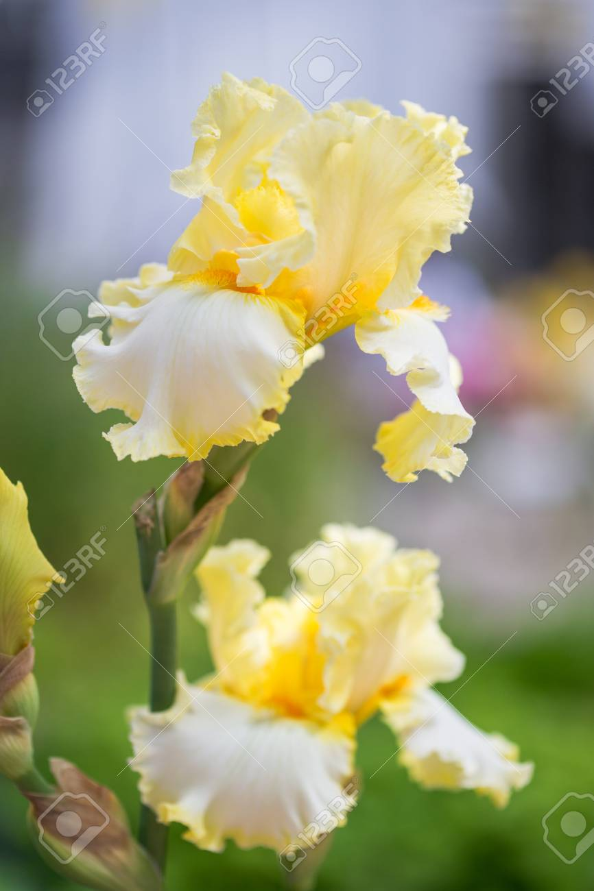 Close Up Of Yellow Bearded Iris Flowers Stock Photo Picture And