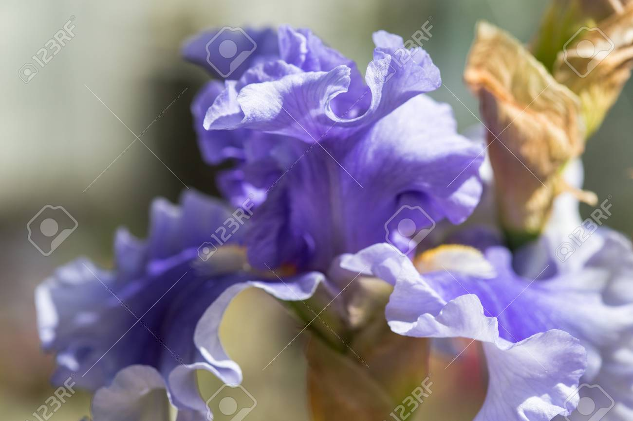 Close Up Of Blue Bearded Iris Flowers Stock Photo Picture And
