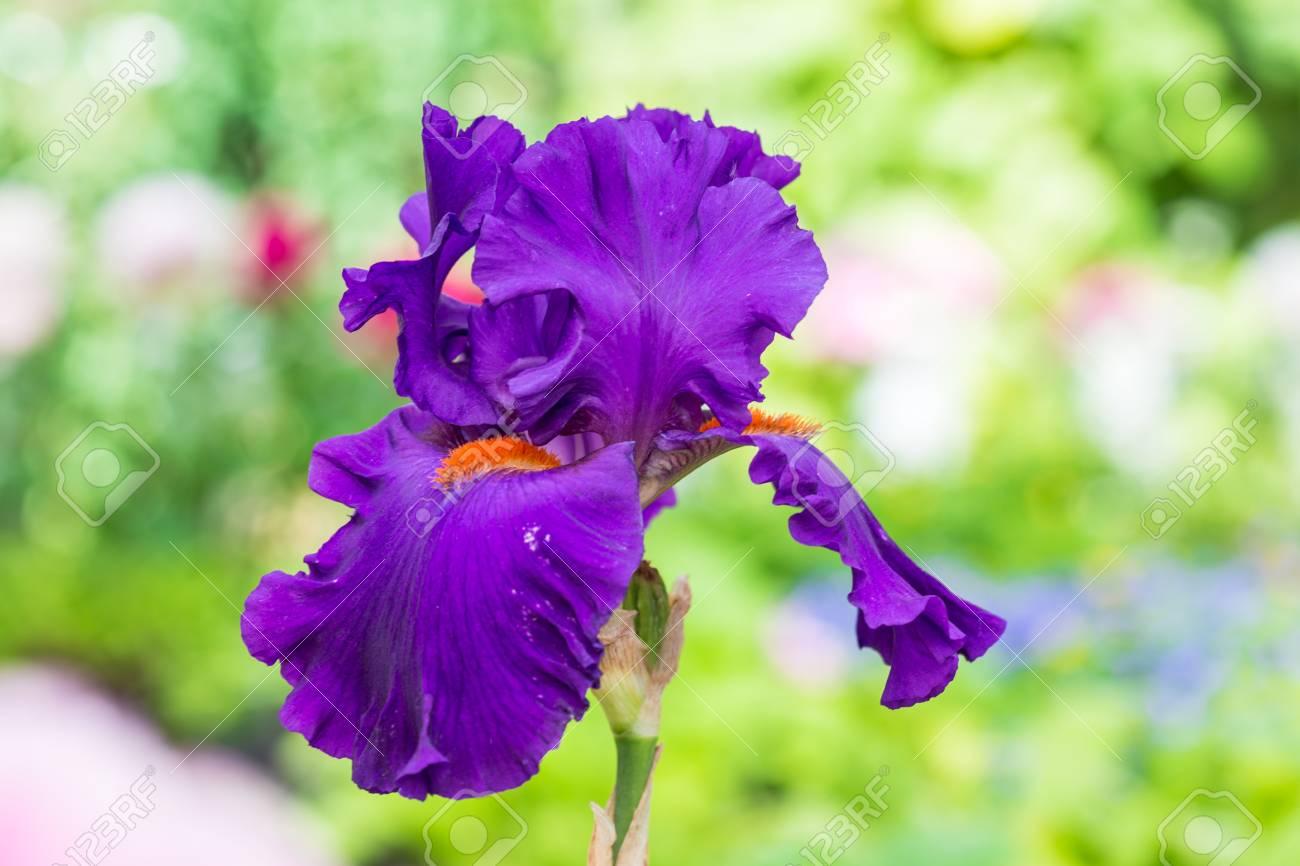 Close up of purple bearded iris flowers stock photo picture and close up of purple bearded iris flowers stock photo 61550106 izmirmasajfo