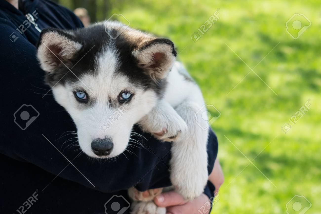 Cute Puppy Siberian Husky Black And White With Blue Eyes On The Stock Photo Picture And Royalty Free Image Image 109540137