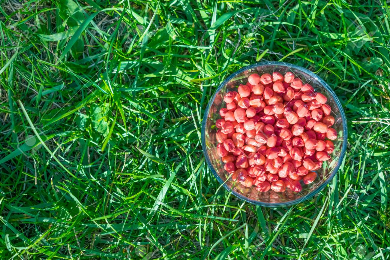 Treated colorful corn seeds ready for planting on green grass