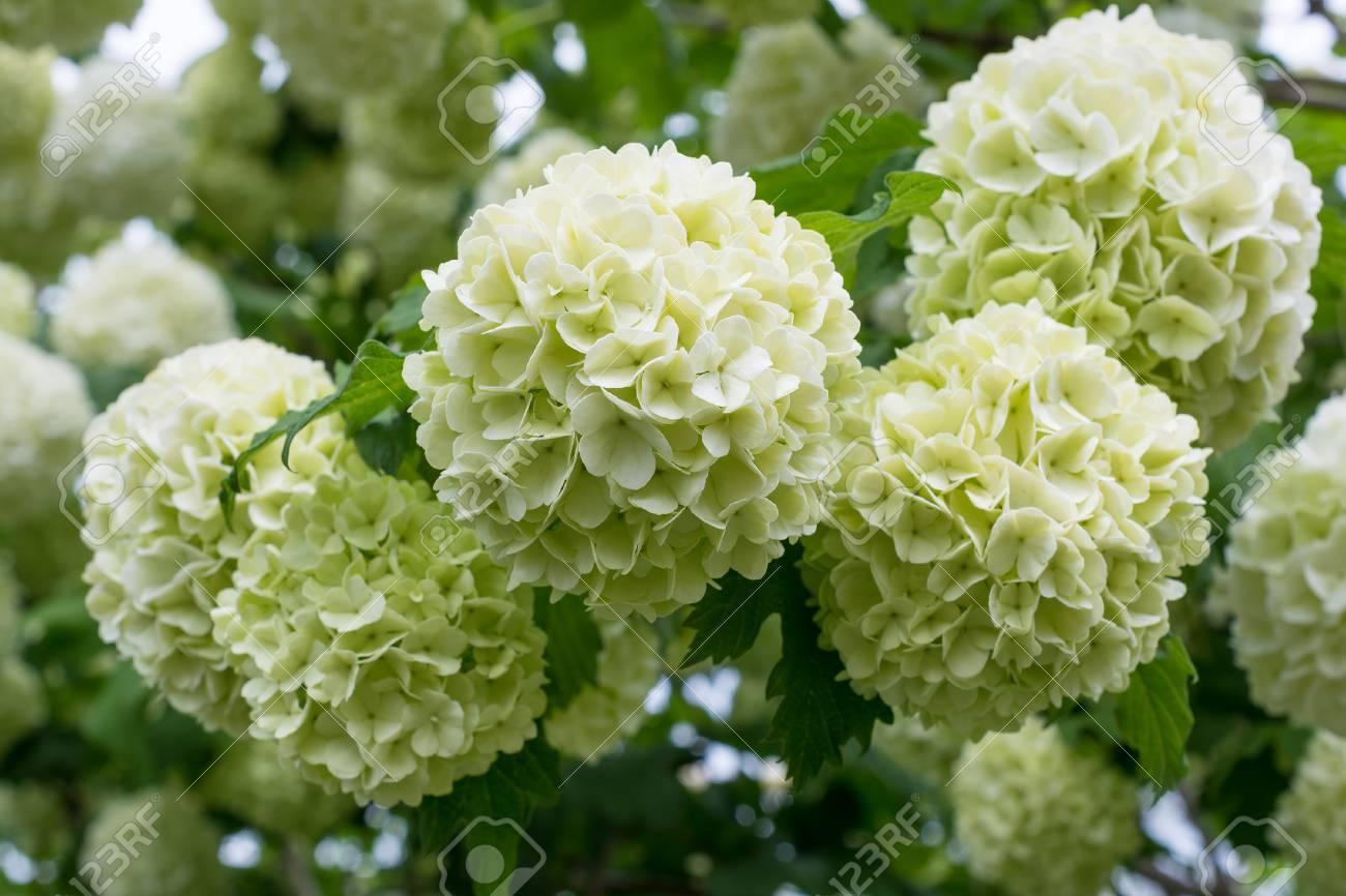 White Flowers Of Viburnum Snow Ball In Spring Garden Guelder