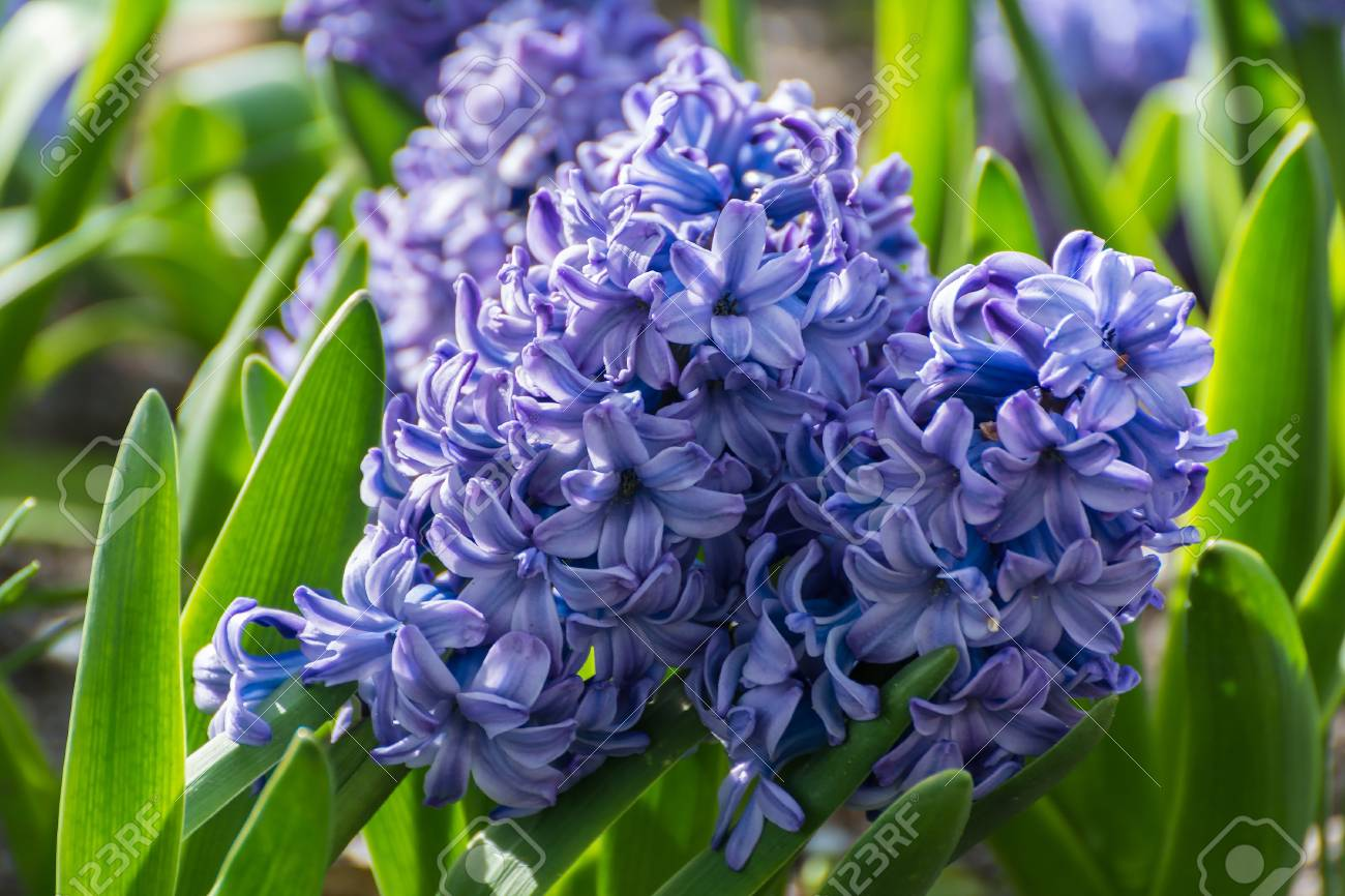 Spring Flowers Hyacinth Stock Photo Picture And Royalty Free