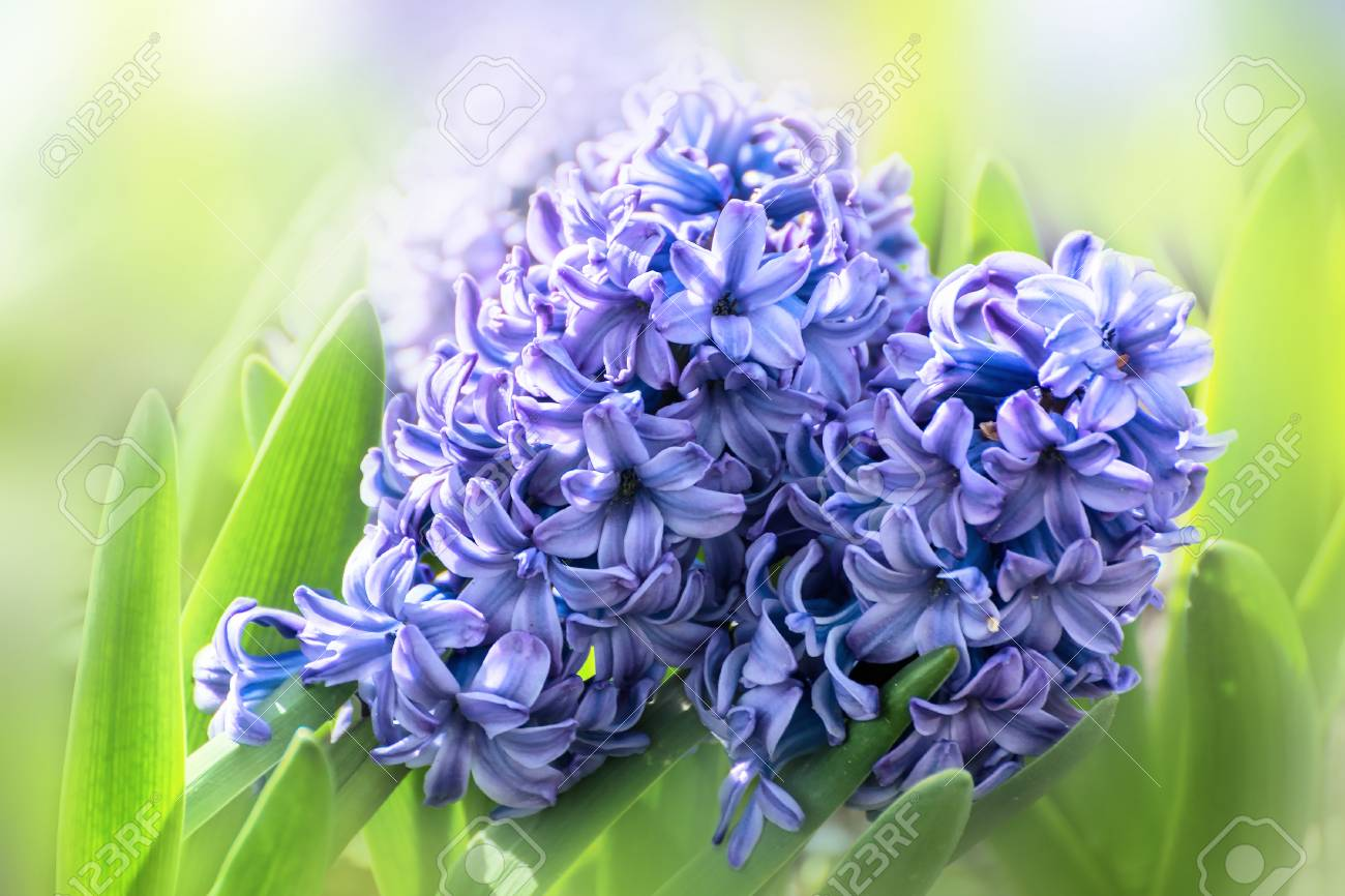 Spring Flowers Blue Hyacinths In The Garden On A Sunny Day Stock