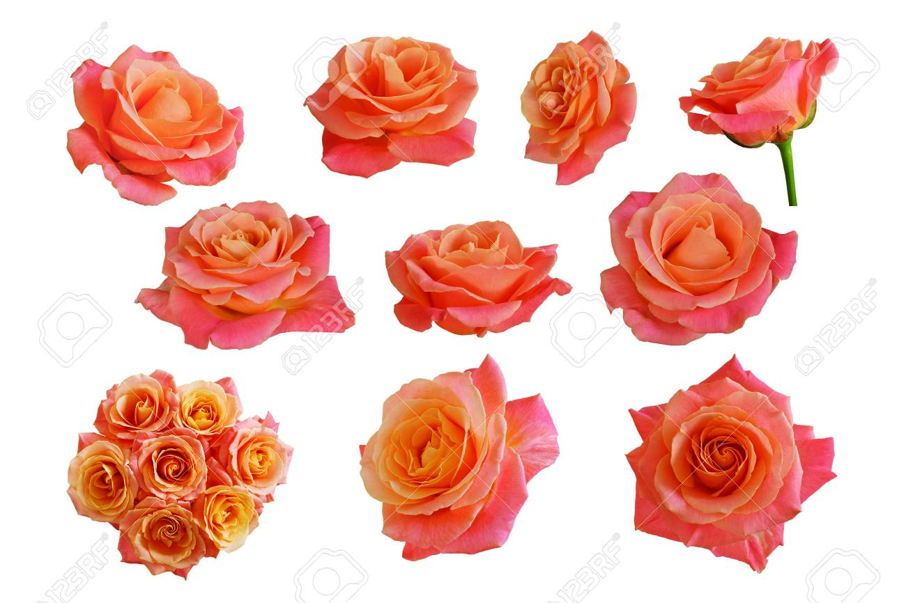 Flowers Of Orange Pink Roses Isolated White Background Stock