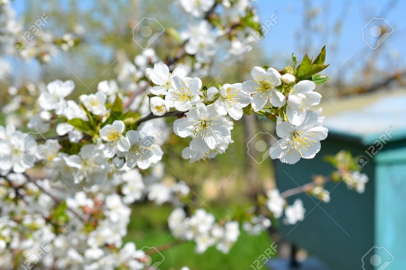 Sweet white flowers blooming cherry tree cherries in the spring stock photo sweet white flowers blooming cherry tree cherries in the spring garden blossoming fruit tree mightylinksfo