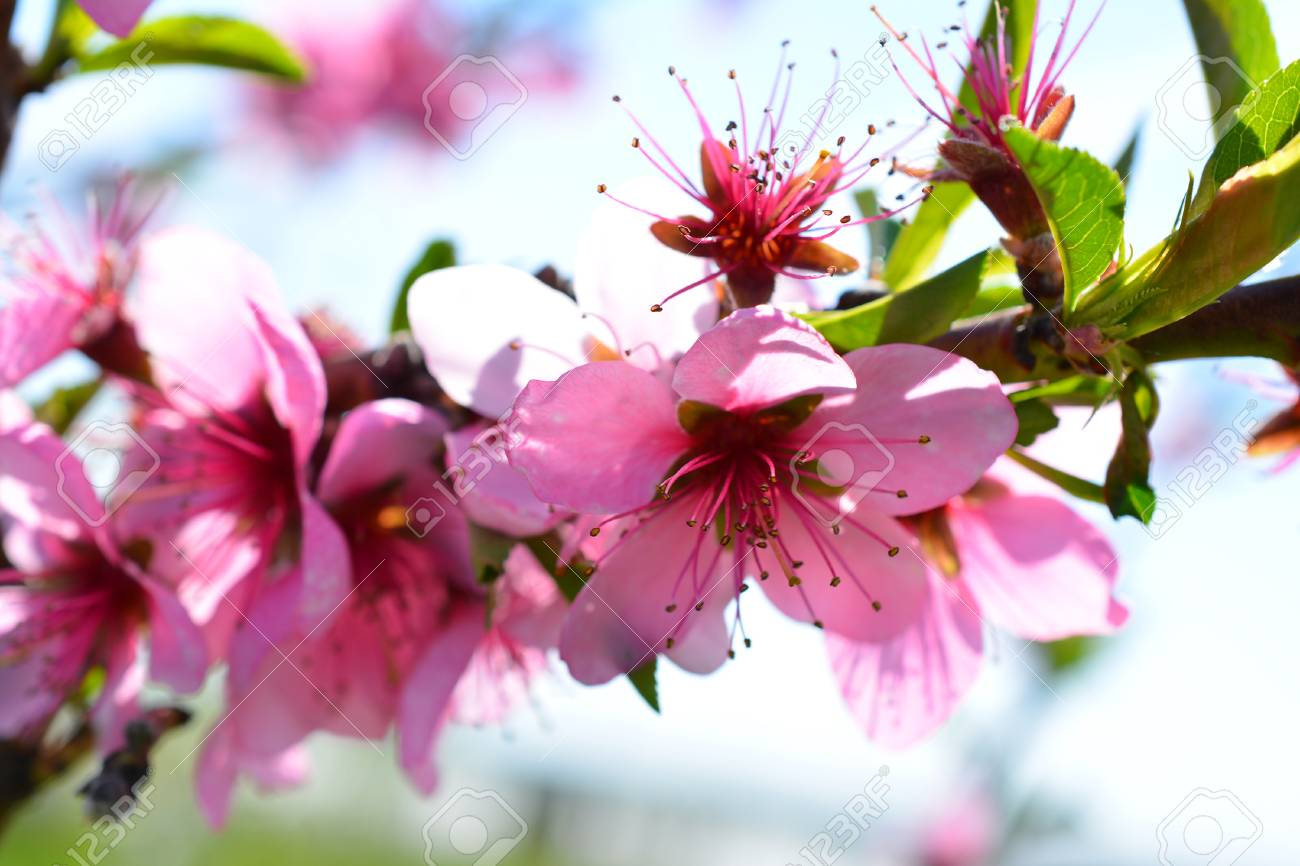 Sweet Pink Flowers Blooming Peach In The Spring Garden Blossoming