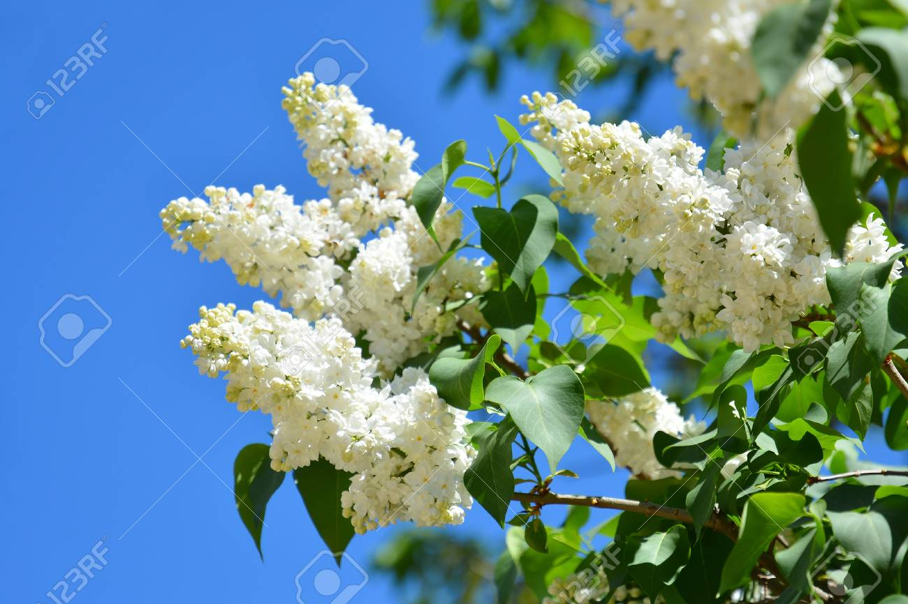 White Flowers Of Lilac In The Spring Garden Bush With Fragrant