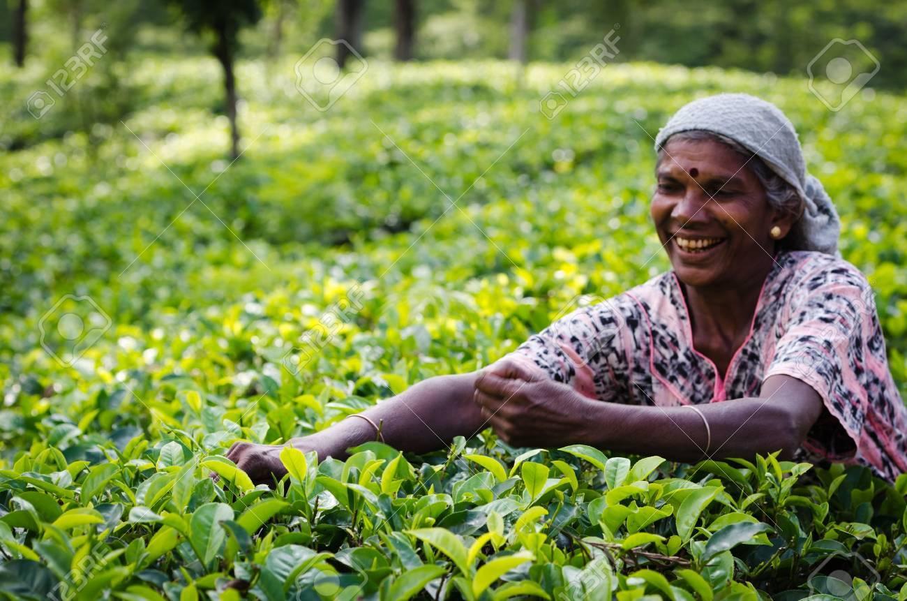 Nuwara Eliya, Sri Lanka - December 8, 2011:  Indian woman picks in tea leaves. Selective focus on the woman right hand. Stock Photo - 12339560
