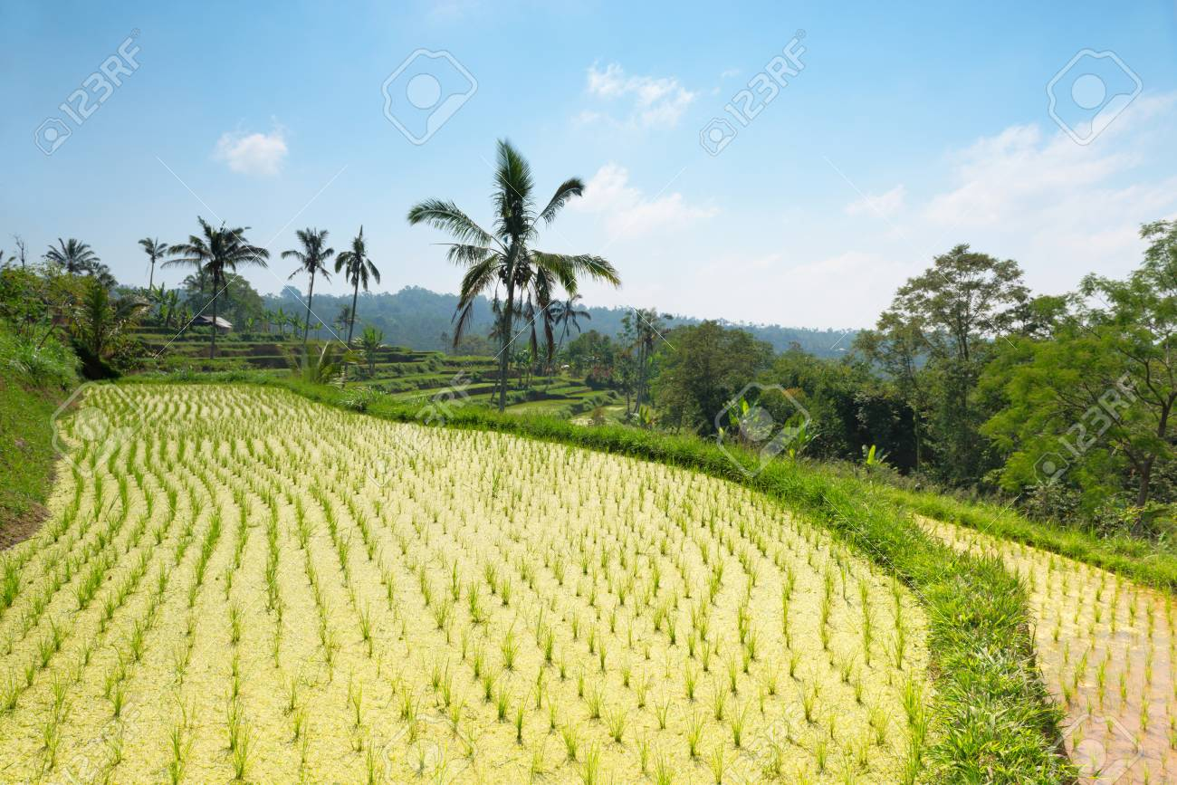 Paddy with green rice sprouts seedlings on field Stock Photo - 18413701