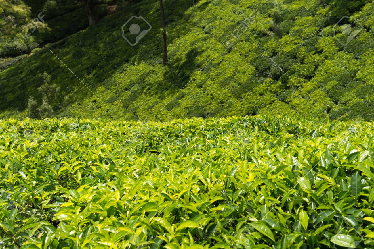 Fresh green tea plantation field at Nuwara Eliya, Sri Lanka, Ceylon Stock Photo - 20622644