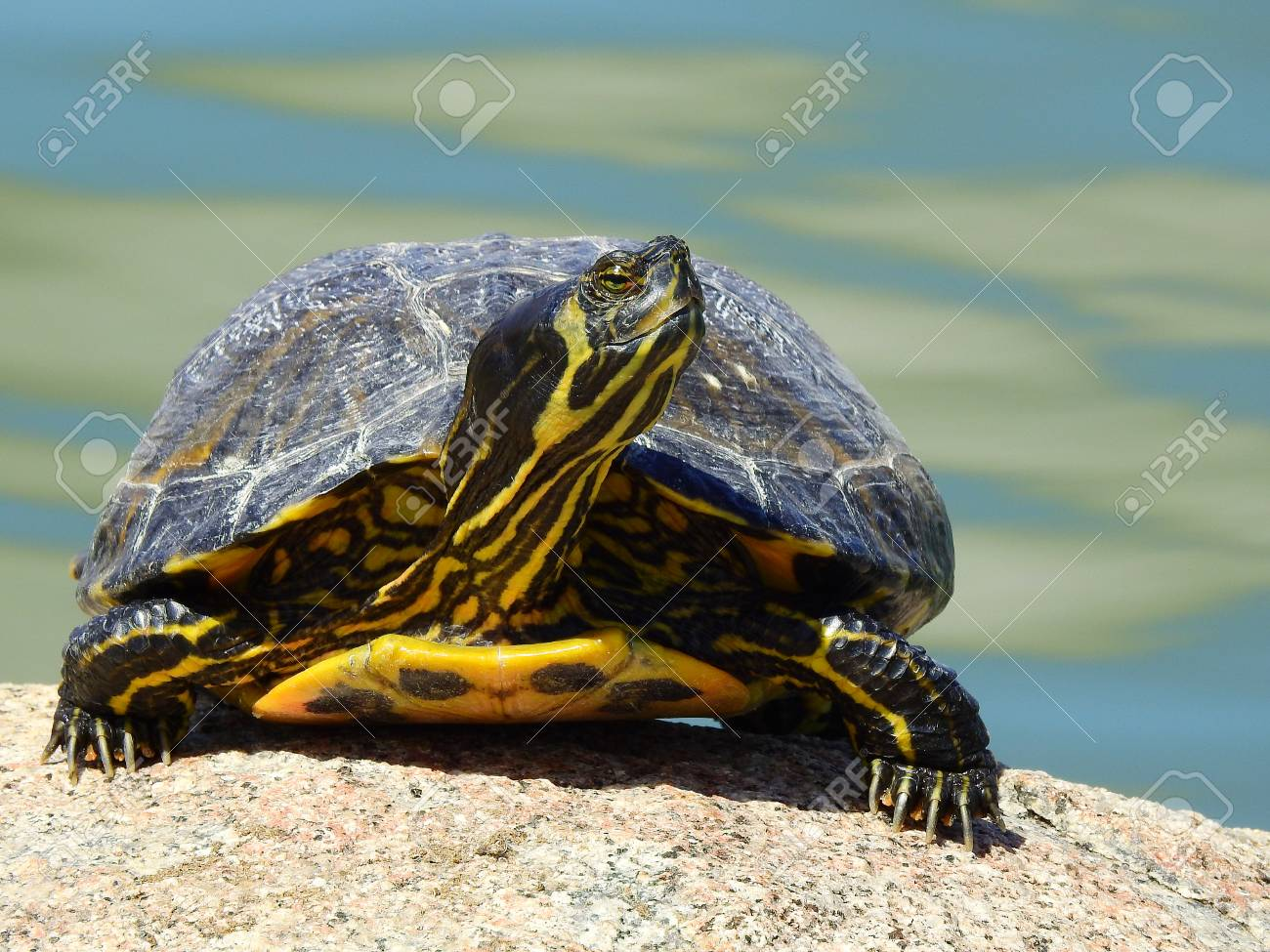 Front Photo Of A Yellow Bellied Slider Turtle Probably Bought As A Pet When It Was A Baby Lives Now With A Thousand More In The Ponds Of The Parks Of Madrid