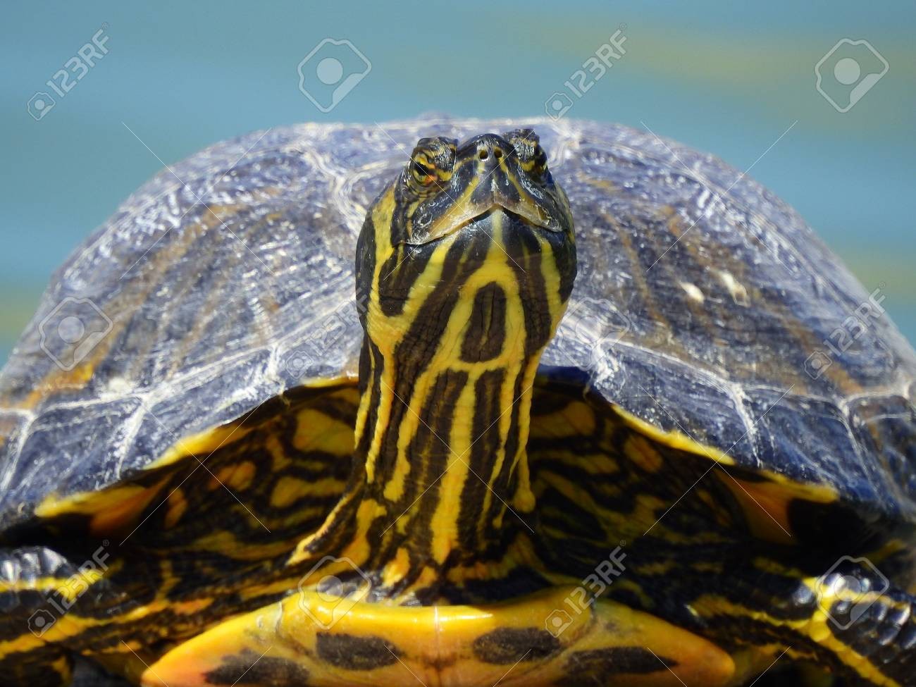 Close Up Photo Of A Yellow Bellied Slider Turtle Probably Bought Stock Photo Picture And Royalty Free Image Image 101513639