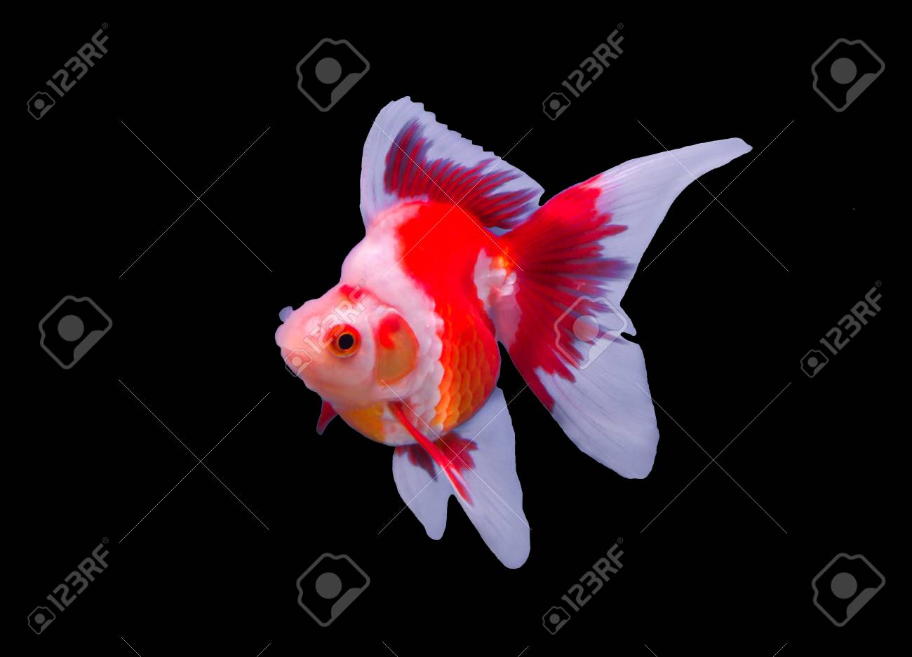 Ryukin Goldfish Isolated In A Black Background