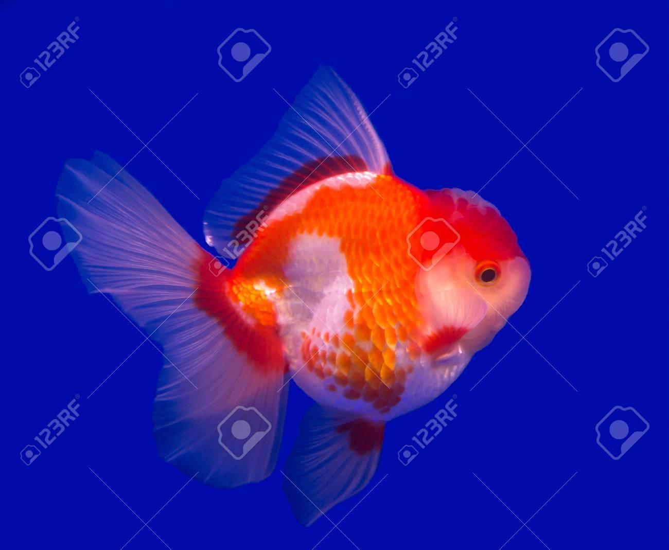 Oranda goldfish isolated in a blue background