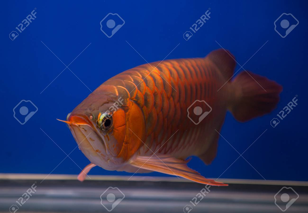 Asian Red Arowana Fish In A Blue Aquarium Stock Photo Picture And