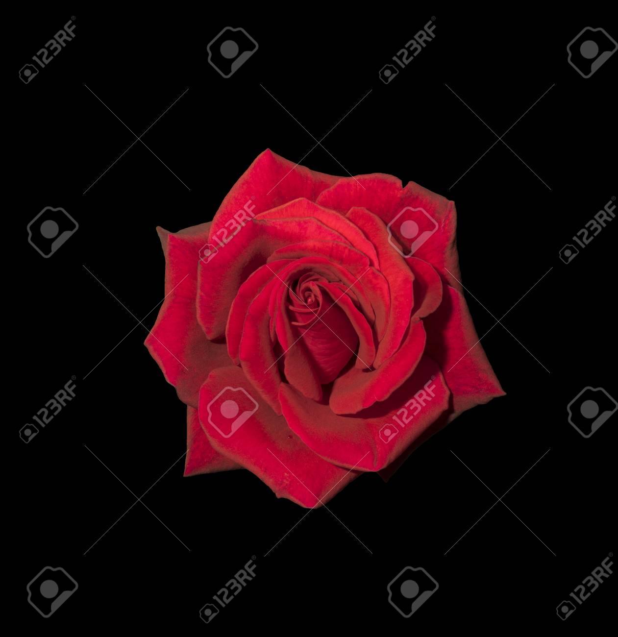 Immagini Stock Rosa Rossa Isolato Su Sfondo Nero Image 61009826