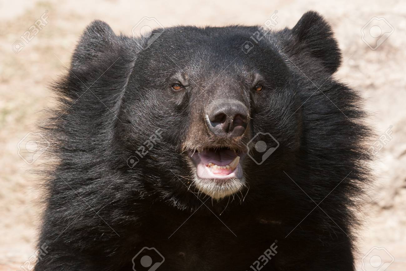 asiatic black bear close up stock photo picture and royalty free